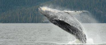 Los paraísos chocoanos recomendados para el avistamiento de ballenas